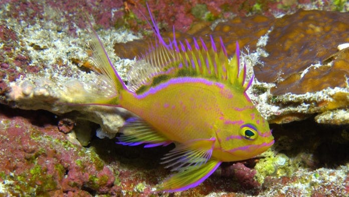 Captive Bred Hawaiian Yellow Anthias